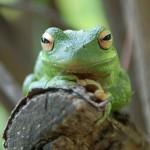 Pożeracz żab