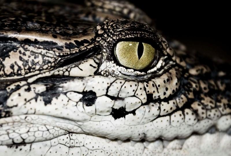 crocodile-3482793940